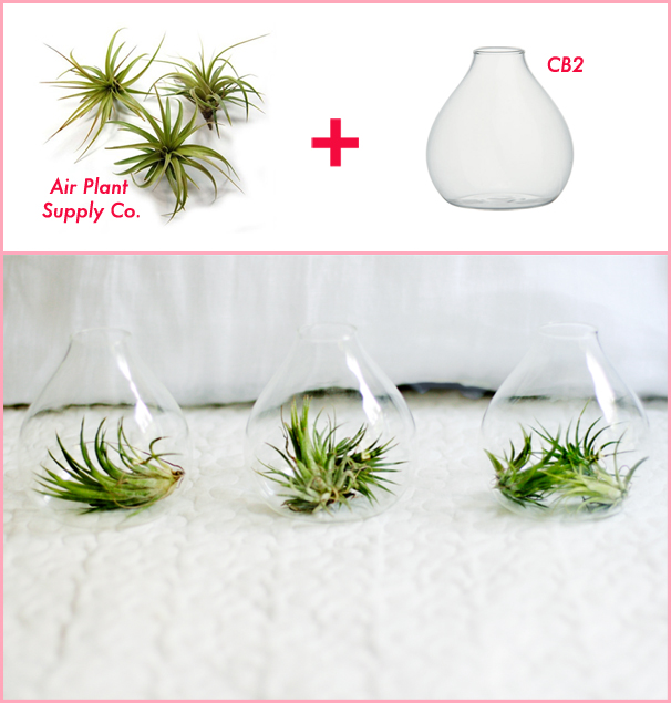I stocked up on these CB2 bud vases and a bunch of air plants, and I now I  have a cute little air plant garden on my kitchen windowsill.