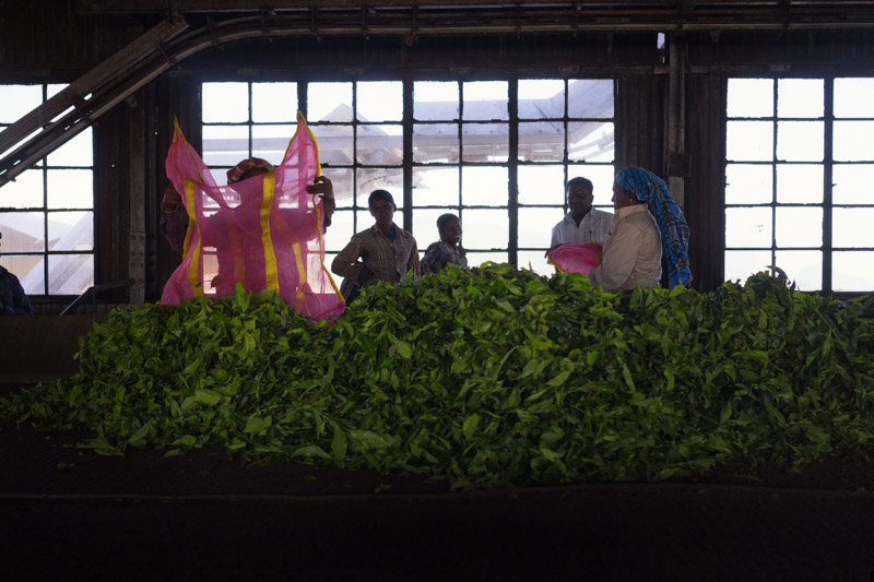 HADATHORAI TEA FACTORY, KOTAGIRI