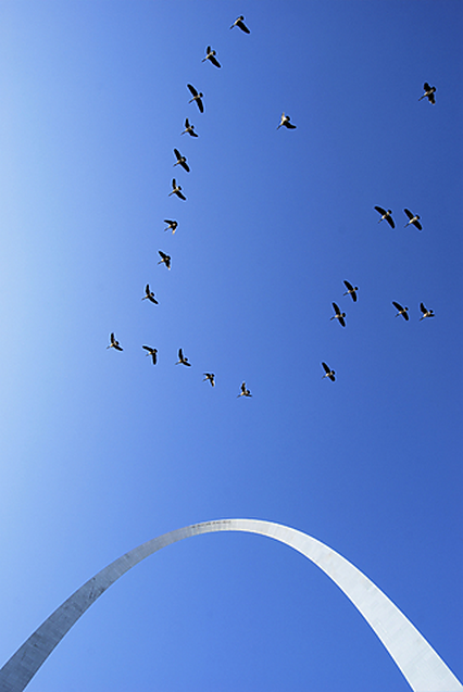 Birds_fly_by_St_Louis_Gateway_Arch_426.png