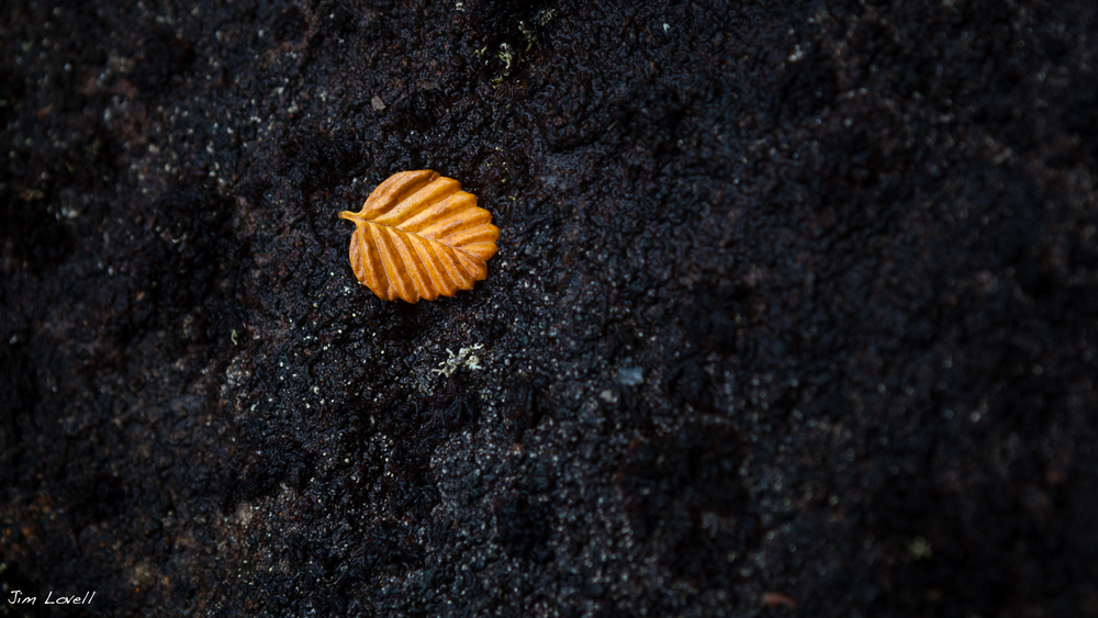 Fallen Fagus, Mt Field, Tasmania