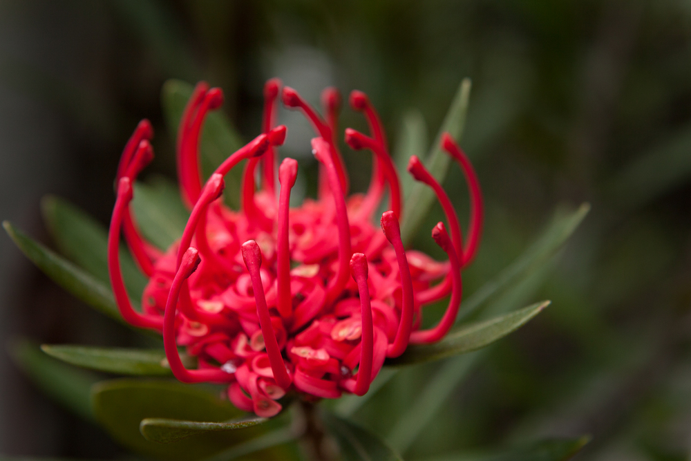 Waratah, Mt Wellington, Tasmania