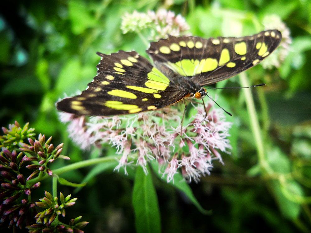 Butterfly .: