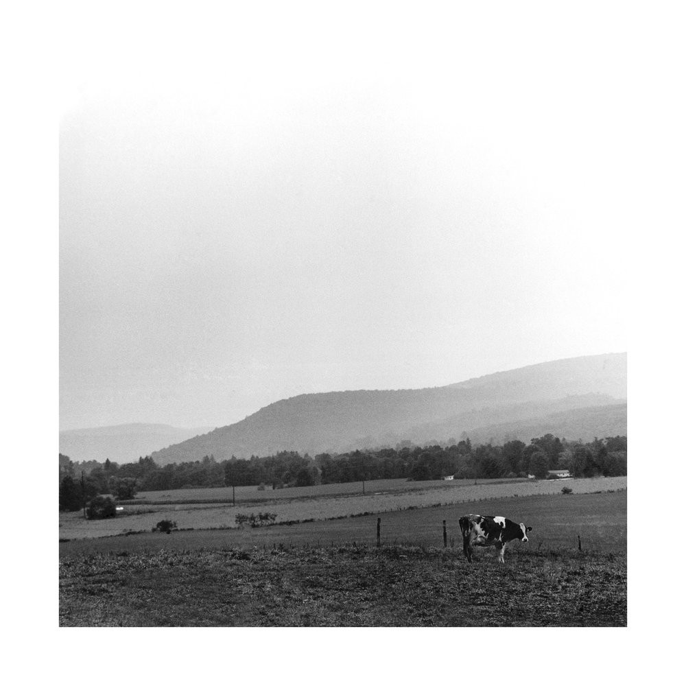 lone cow.jpg