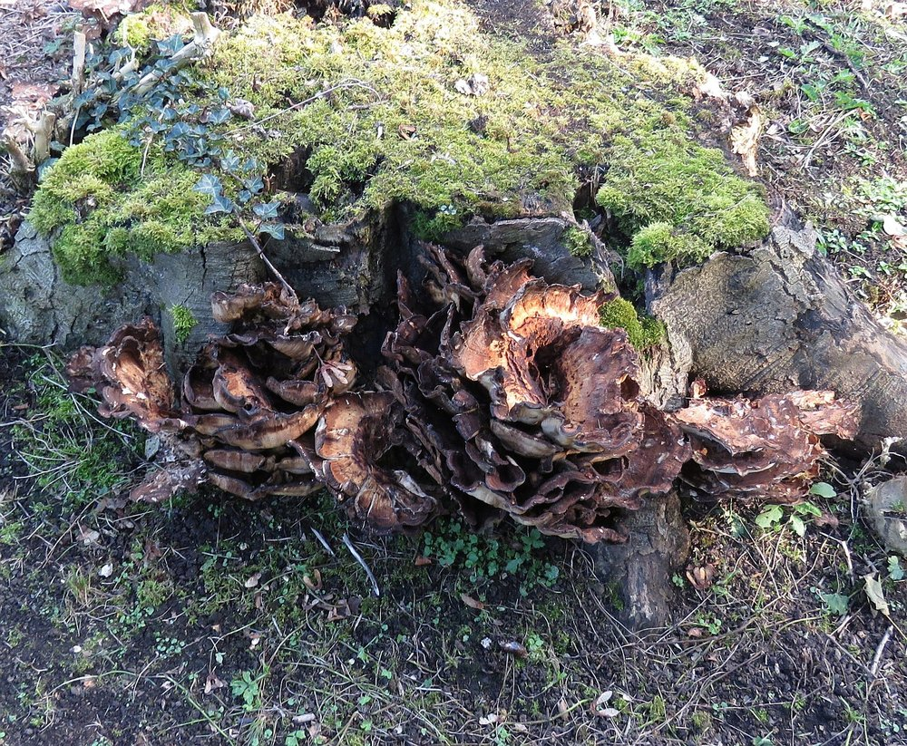 Large bracket fungus