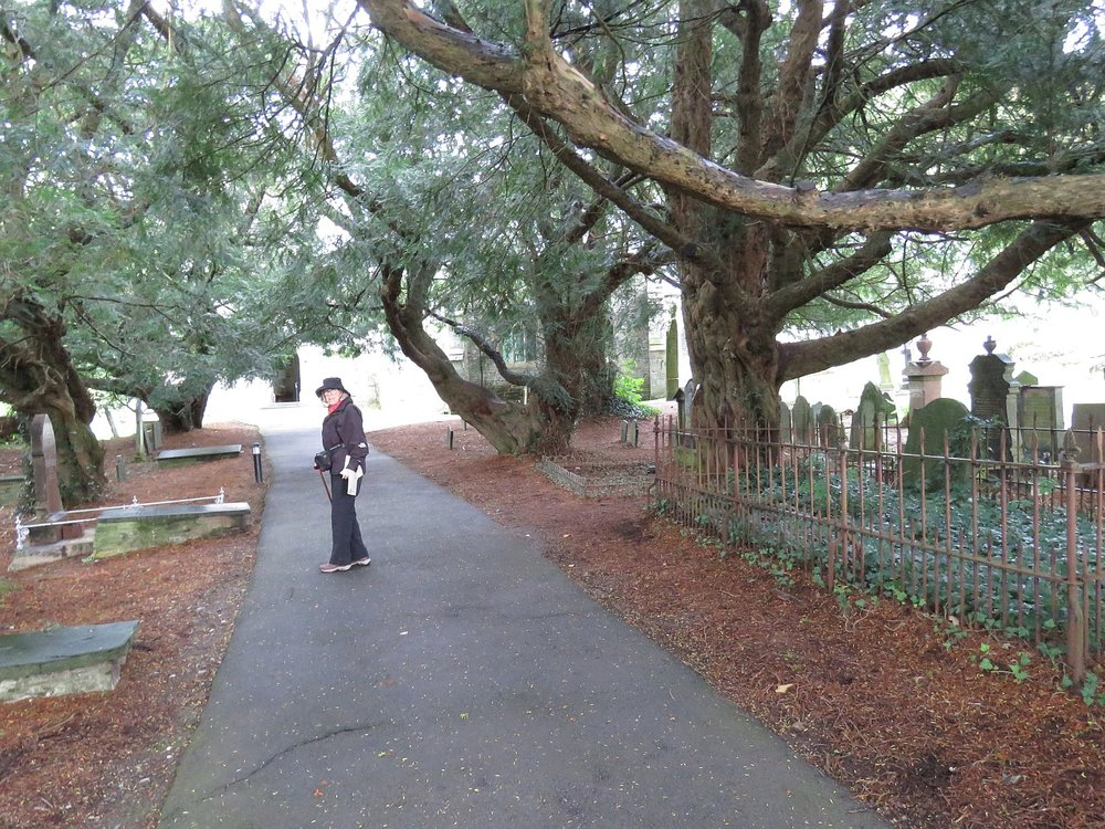 600 year old yew trees at St. Brynech's