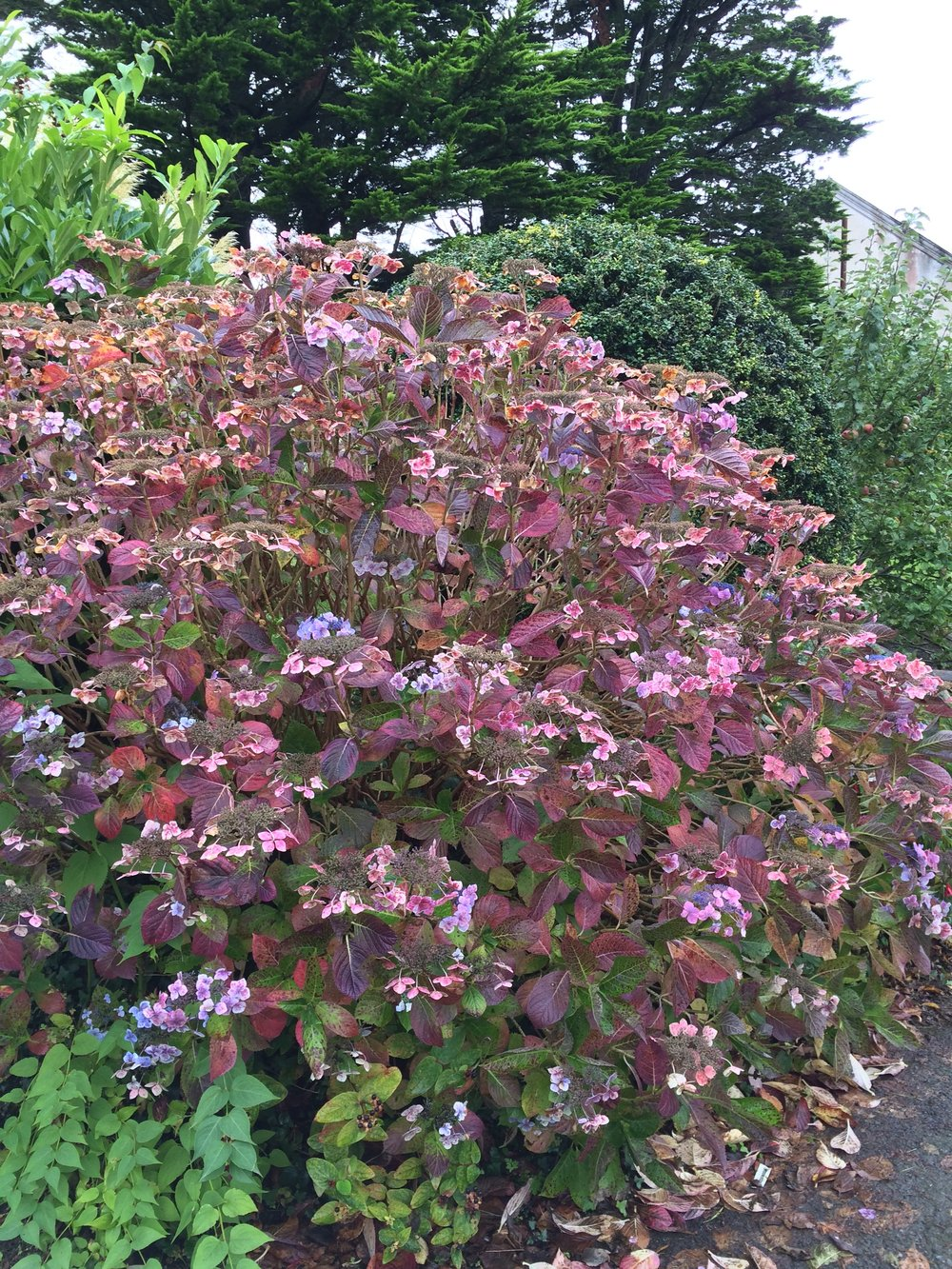 French or Bigleaf Hydrangea in front of Pentower