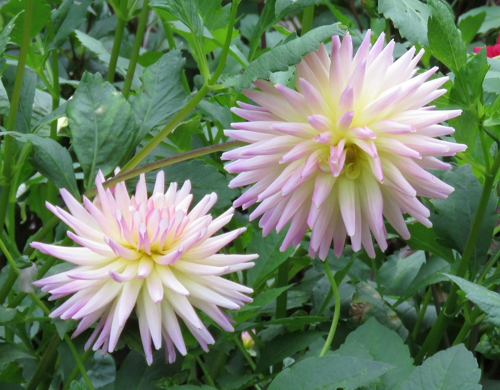 Magnificent dahlias - more photos follow the post