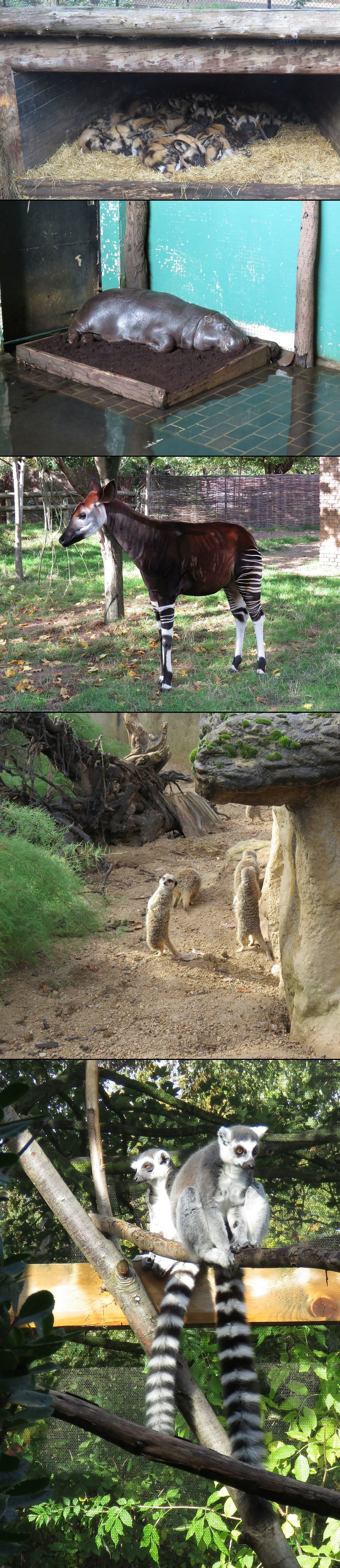 African wild dogs, pigmy hippo, okapi, meerkats, ring tailed lemurs