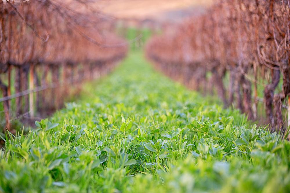 Cover crop in Clos Pepe Vineyard