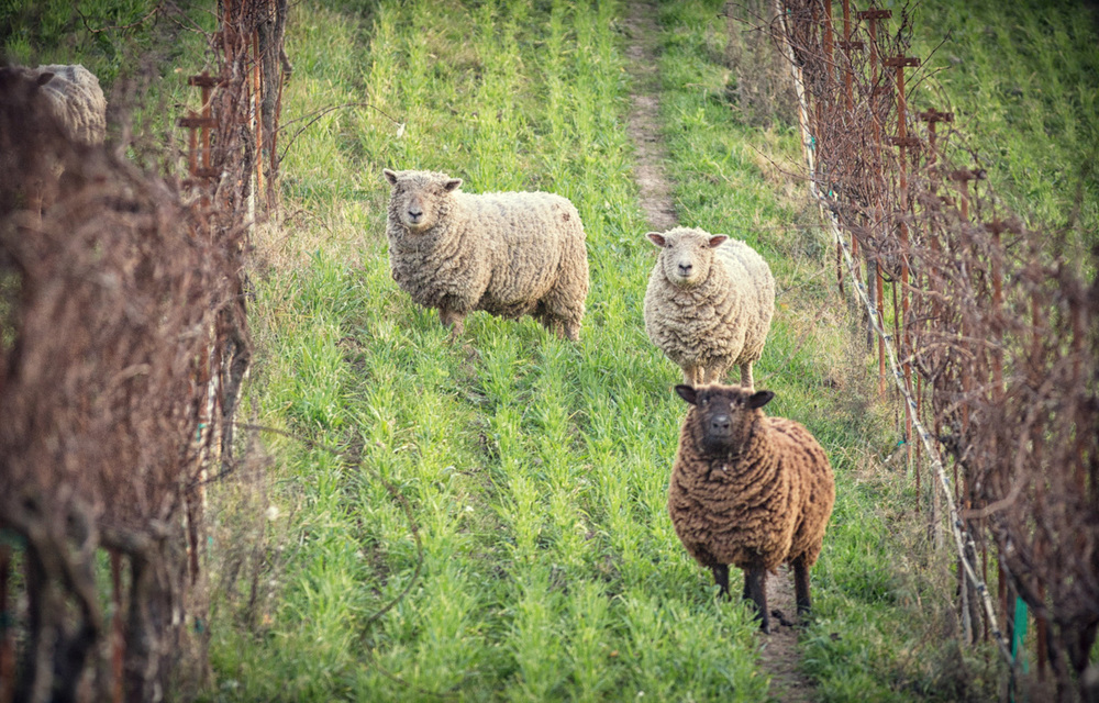 English sheep at Clos Pepe Vineyard