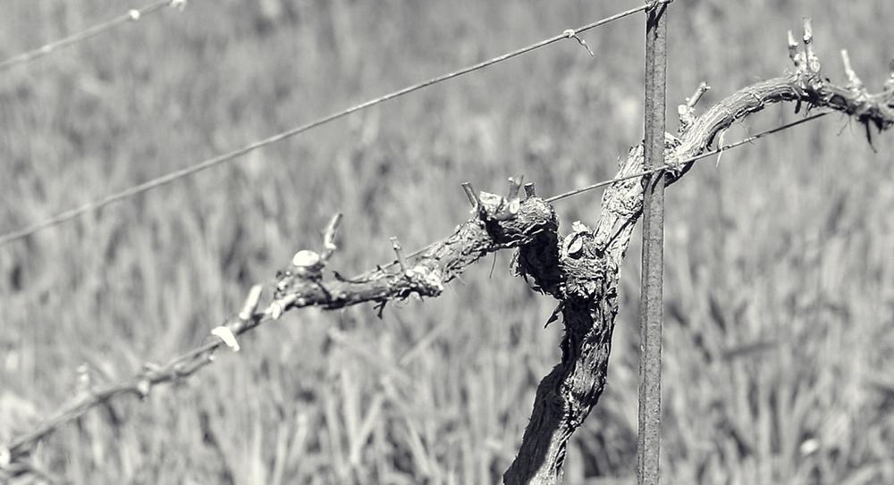 Pruned grapevine