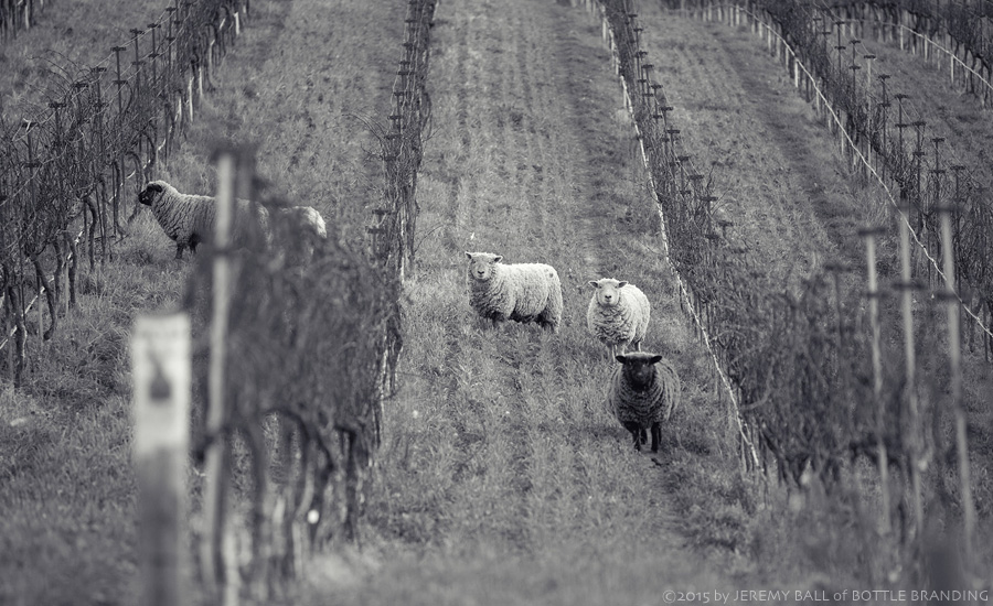 Clos Pepe Sheep 1