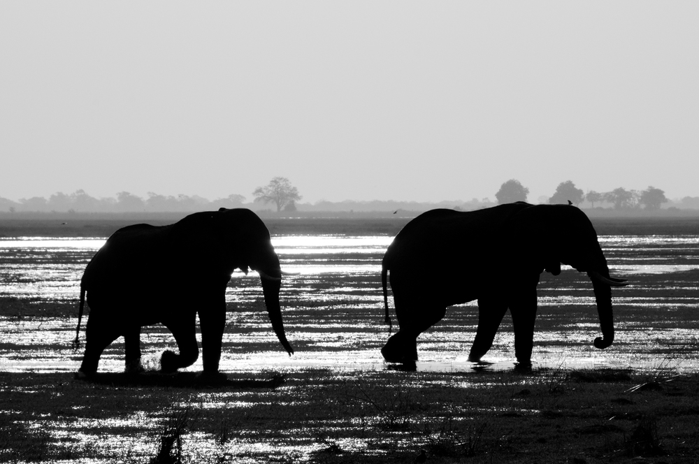 Elephants, Okawango