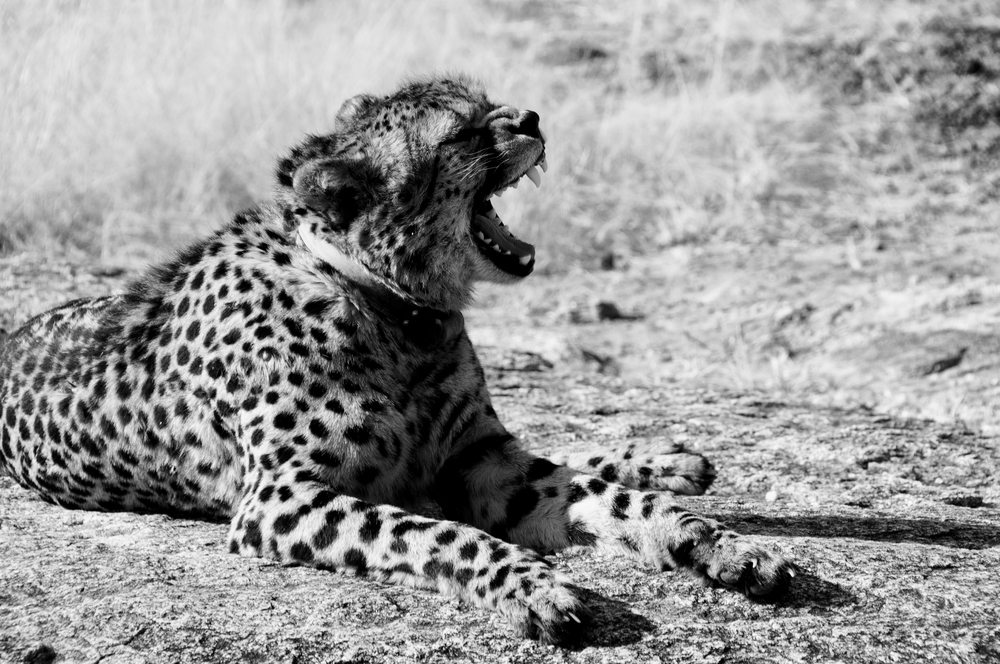 Cheeta, Okonjima