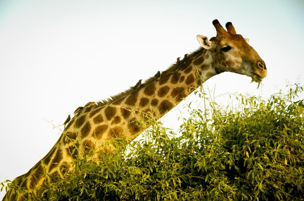 7 birds, 1 giraffe