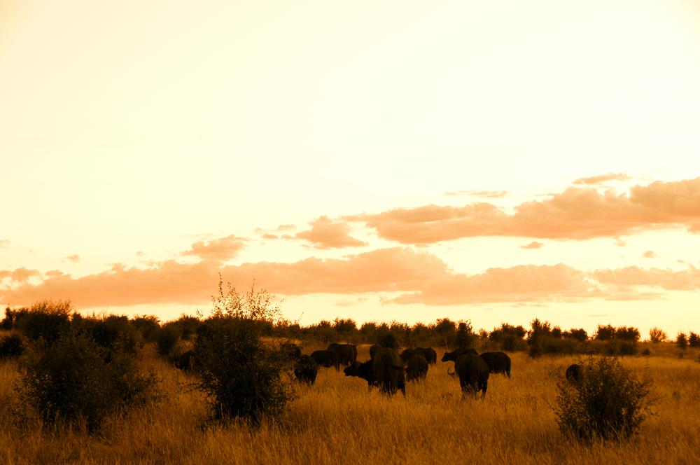 Buffalos on sunset