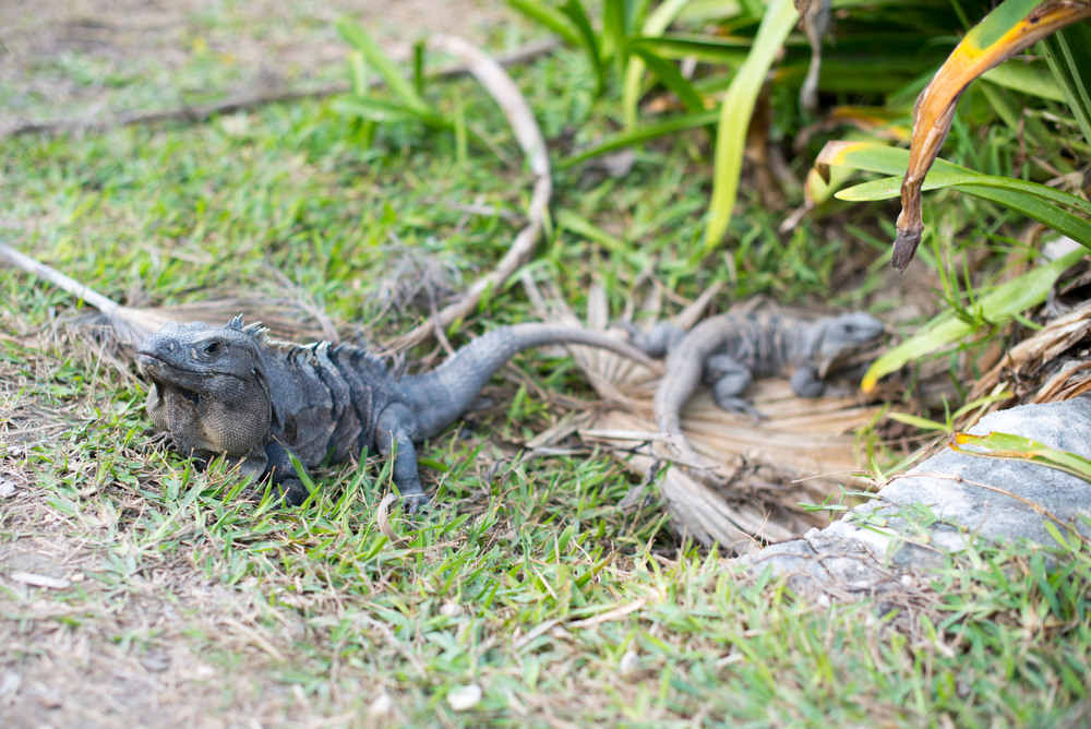 Iguanas at the Tulum archeological site