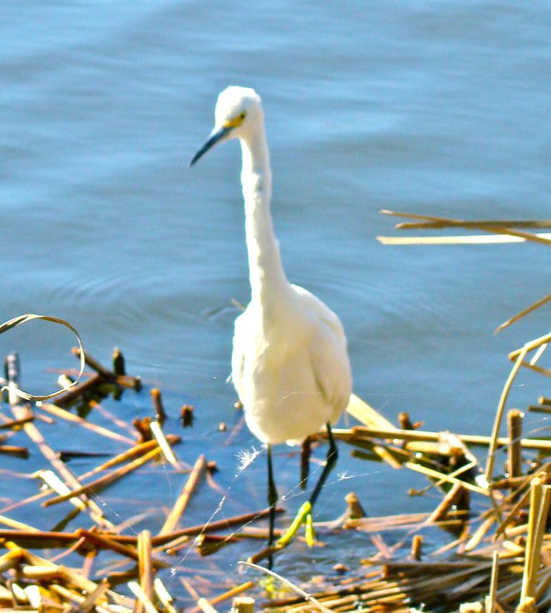 Heron or Egret.jpg