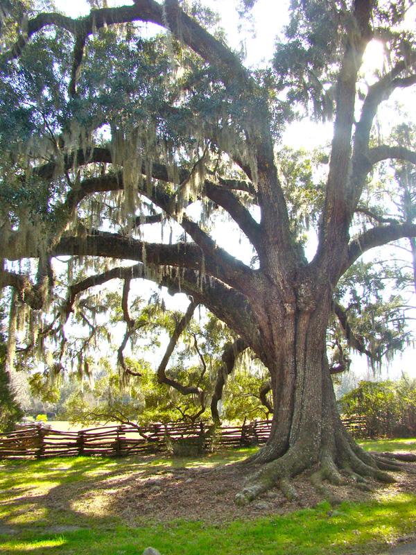 Big Oak.jpg