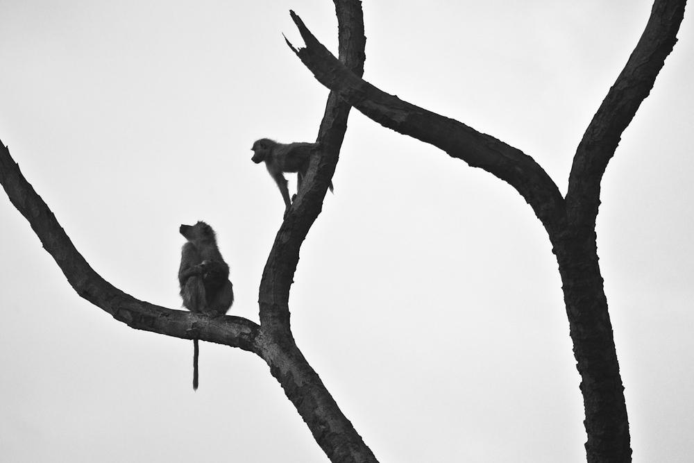 Baboon palms.jpg
