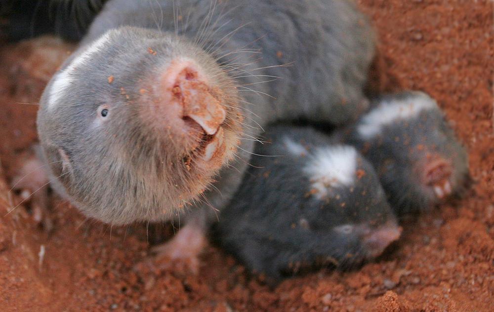 Mole & 2 babies PSd.jpg