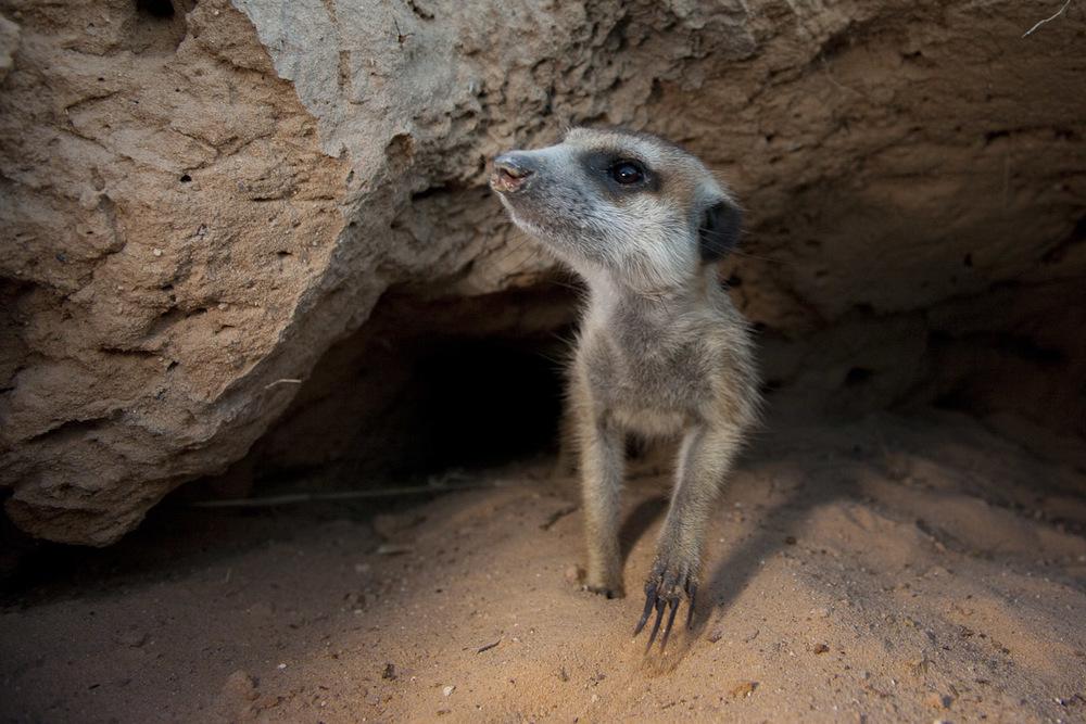 Meerkats-1.jpg