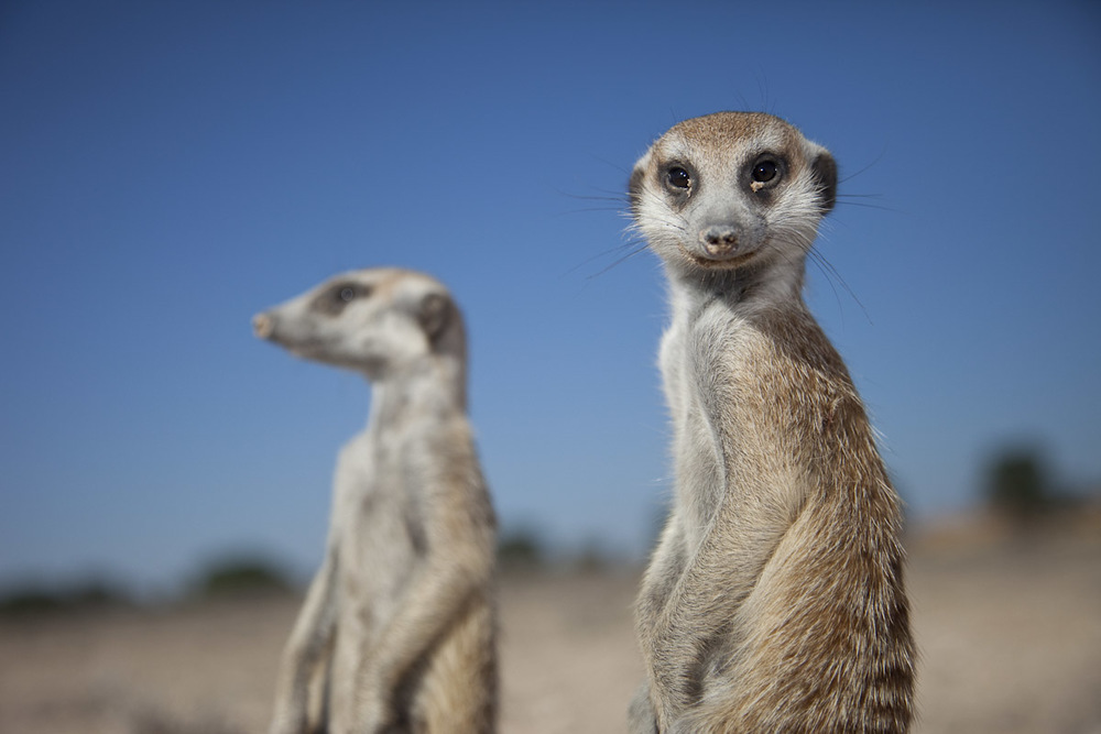 Meerkats-2.jpg