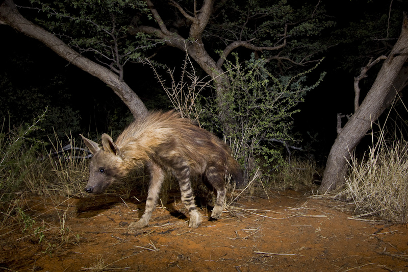 Brown hyena, Kalahari desert, South Africa