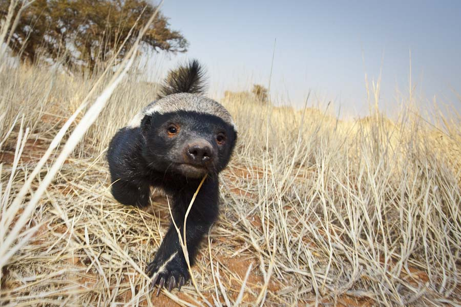 Honey badger-6.jpg