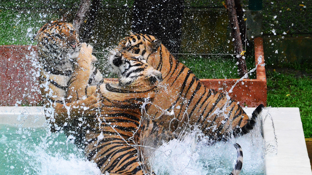 Tigers Playing in Pool