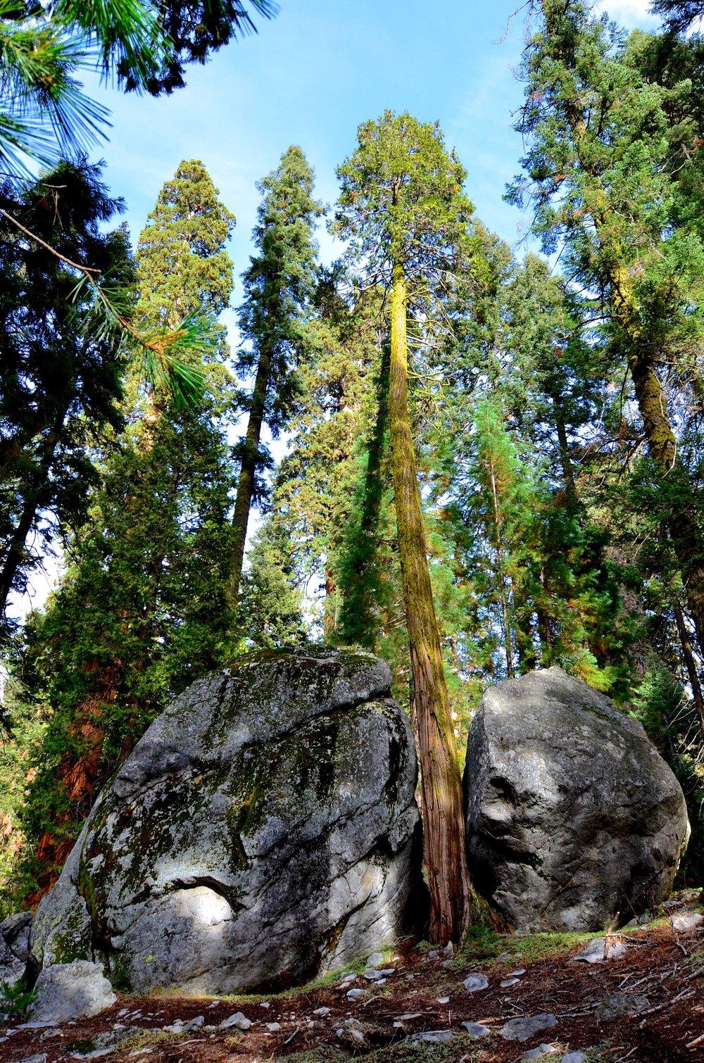 Sequoia_10.jpg