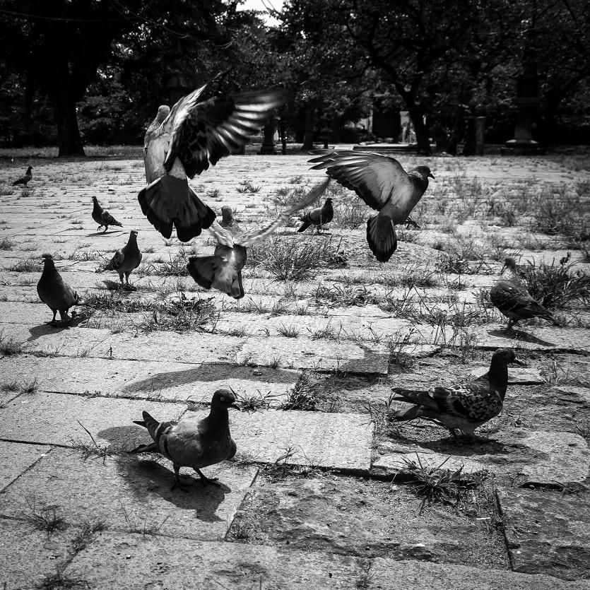 pigeonstakeflight.jpg