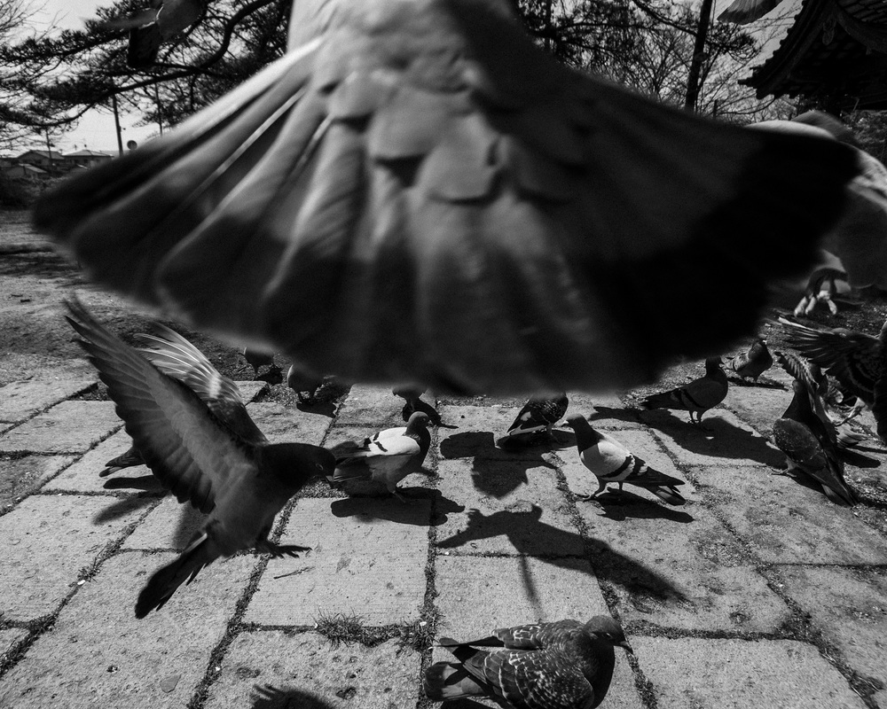 pigeontail.jpg