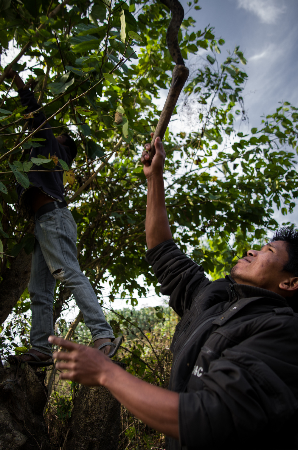 Pipan (right) and Nobin gathering vegetation for the gibbons.