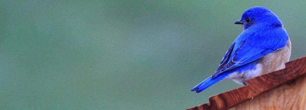grtchnfx_gretchen-fox_bluebird.jpg