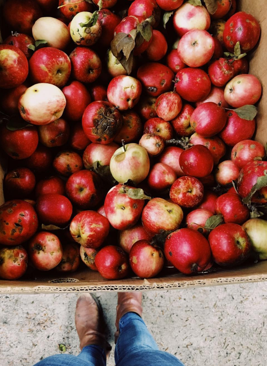 Apples before pressing on Orcas Island in the San Juans