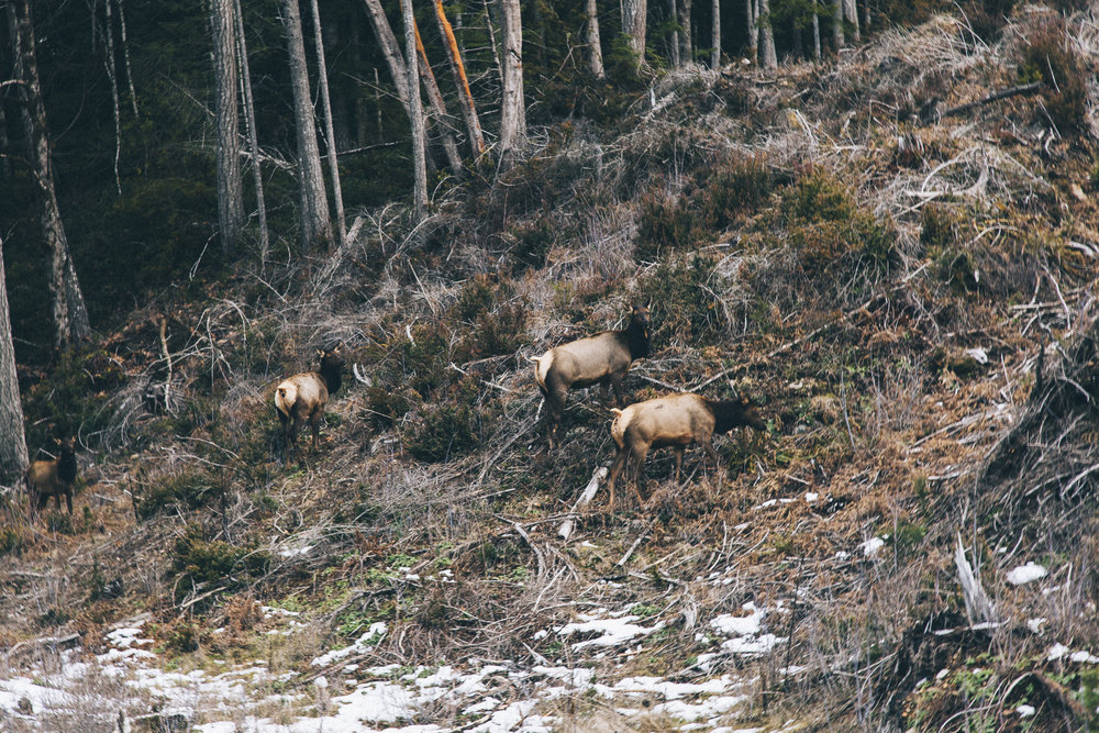 Elk roaming in the clear cuts of Hama Hama's timberland.