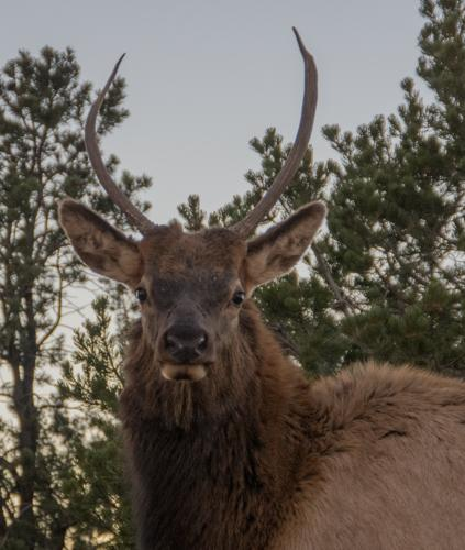 Elk stag at Mather Point, Grand Canyon