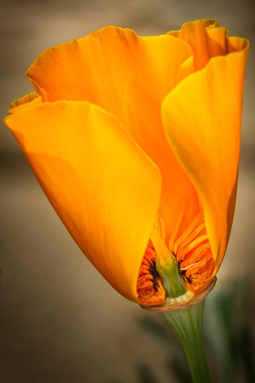 Poppy - Corliss Gustavson