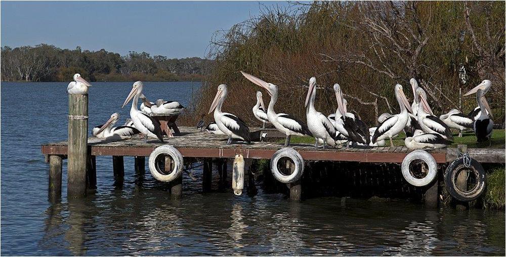 Pelican-Rest.jpg