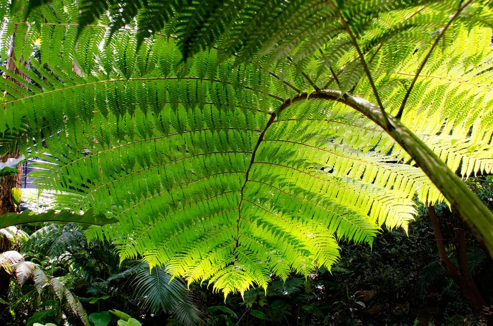 Fern-Canopy.jpg
