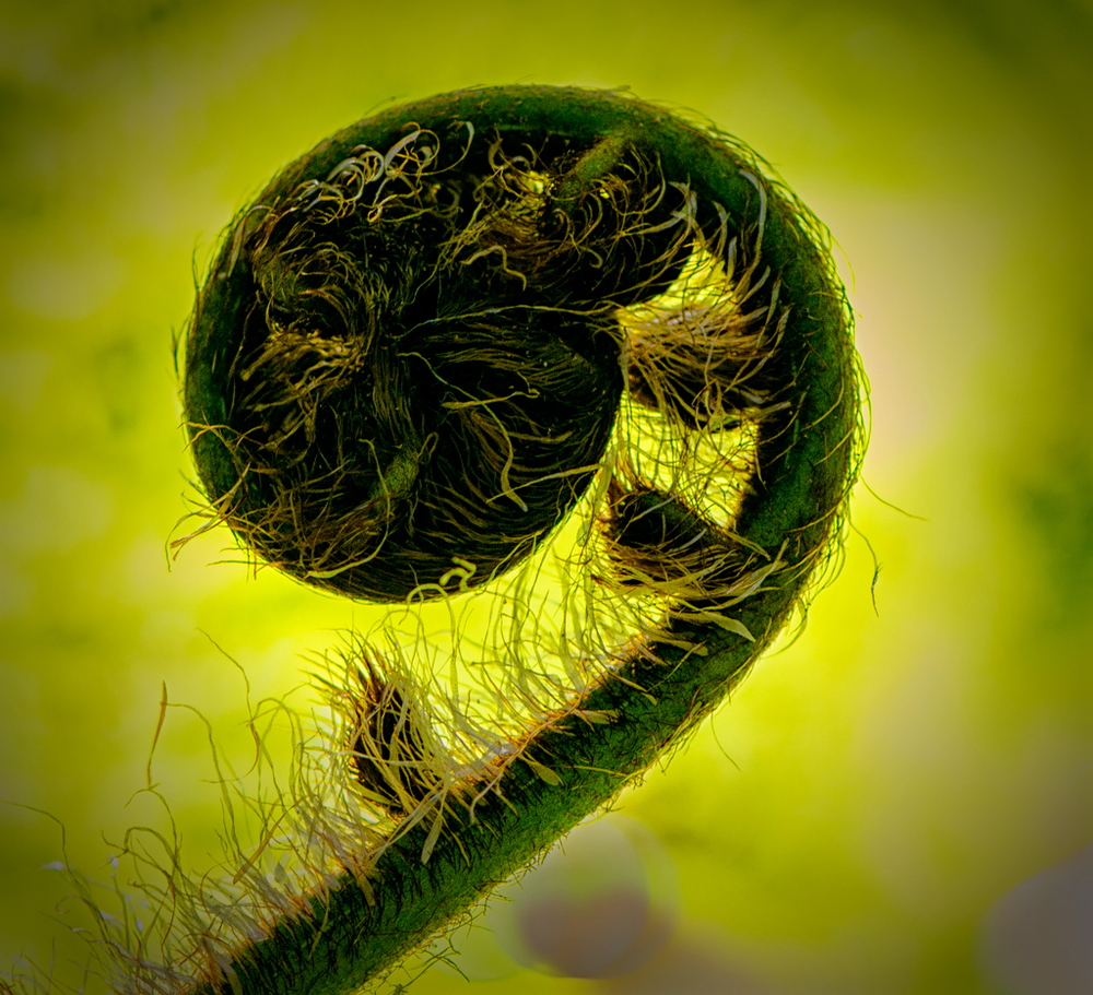 Fern-Unfolding.jpg