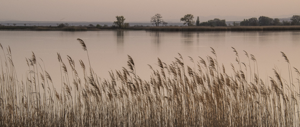 Reeds in Evening Light.jpg