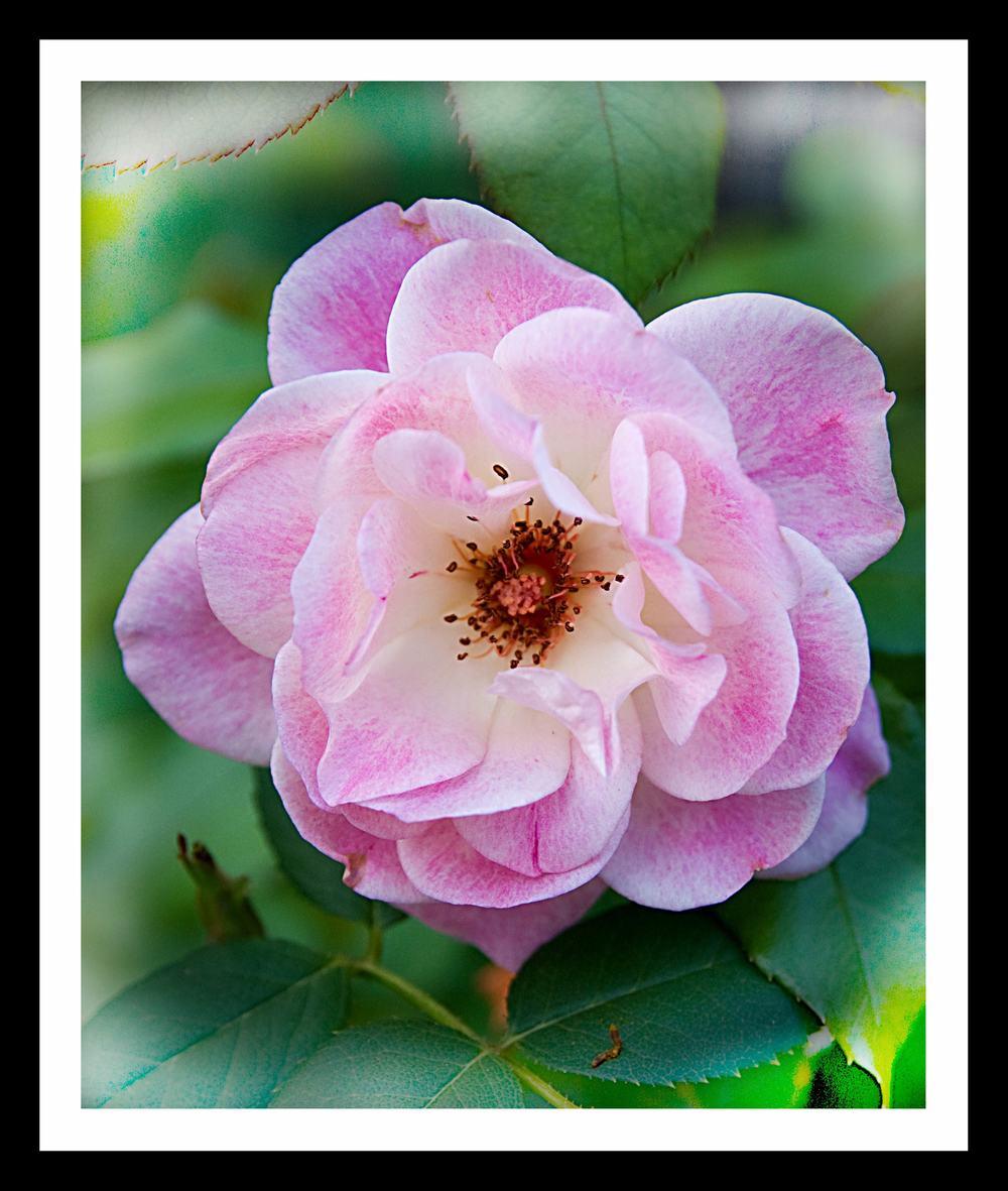 my rose.jpg