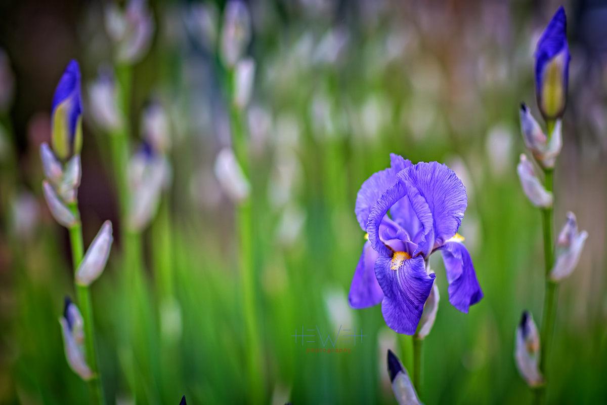 Iris Blooms Hewett Photography
