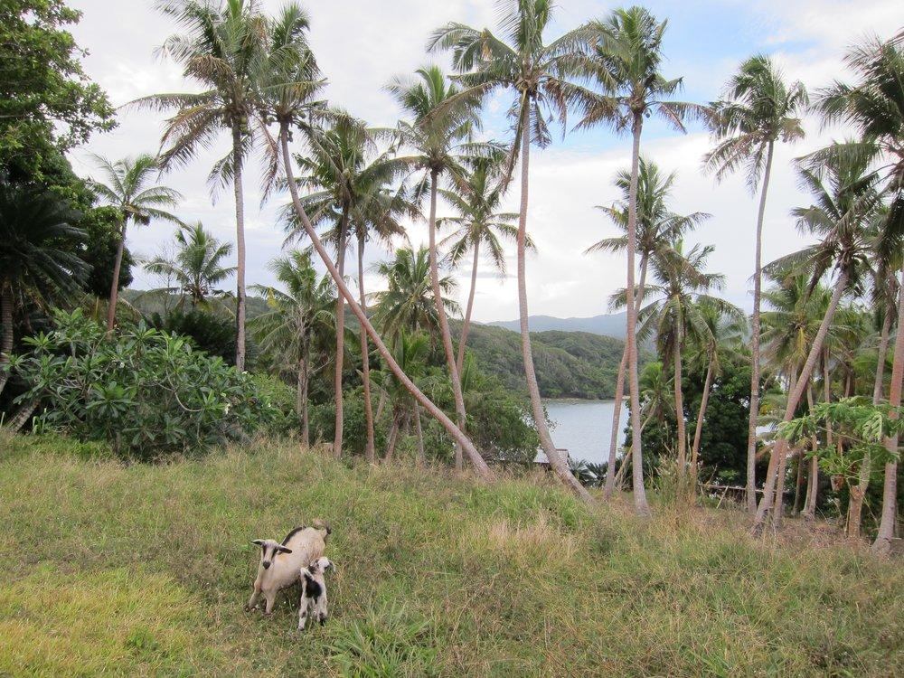 31   Goats, Galoa Island.jpg