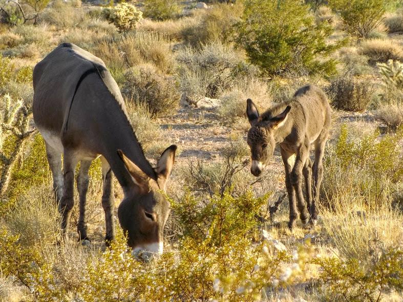 burros.jpg