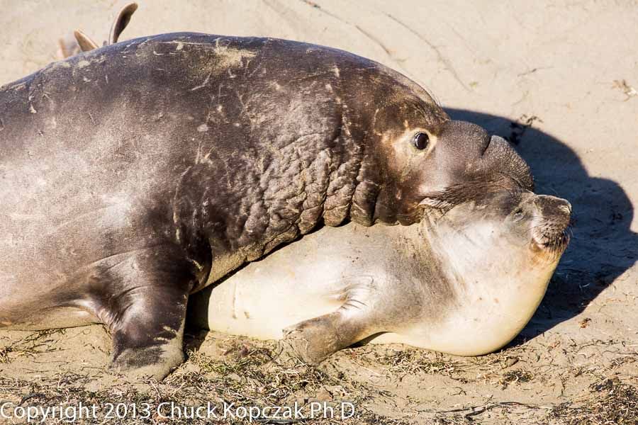 A bull elephant seal bites a female by the back of the neck as he tries to mount her to copulate. The peak of mating activity at this location is around the middle of February.