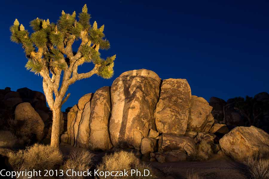 Joshua tree and monzogranite formation in Joshua Tree National Park.