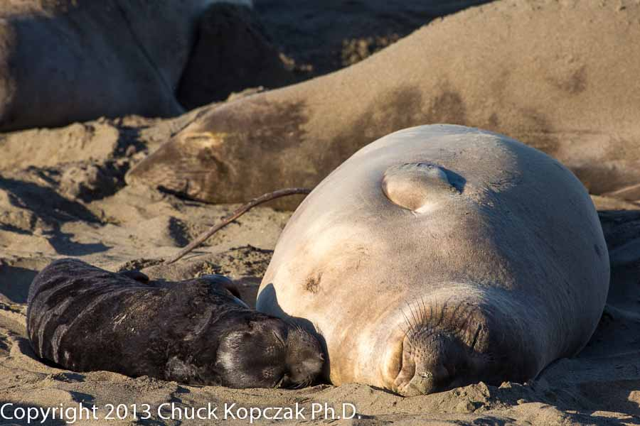 A mother elephant seal and her young pup relaxing in the warm morning sun on the beach at Piedras Blancas on the central California coast.